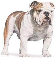 AKC Standard for English Bulldogs